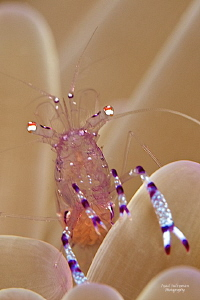 Commensal shrimp with eggs by Iyad Suleyman 